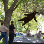 A bear falls from a tree after being tranquilized by Colorado wildlife officials.